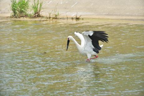 宮古島/コウノトリの写真素材 [FYI01263394]