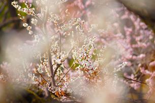 梅のイメージの写真素材 [FYI01263638]