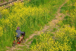 菜の花のイメージの写真素材 [FYI01263653]