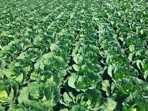 キャベツ畑 農業の写真素材 [FYI01263709]