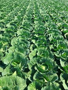 キャベツ畑 農業の写真素材 [FYI01263710]