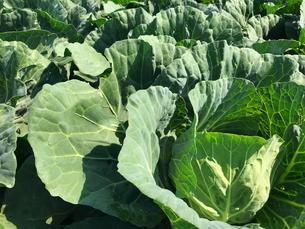 キャベツ畑 農業の写真素材 [FYI01263711]