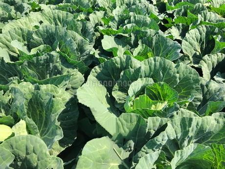 キャベツ畑 農業の写真素材 [FYI01263712]