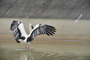 宮古島/コウノトリの写真素材 [FYI01263782]