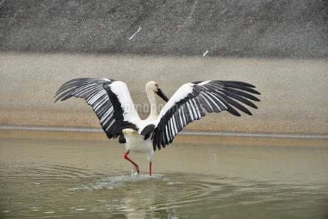 宮古島/コウノトリの写真素材 [FYI01263802]