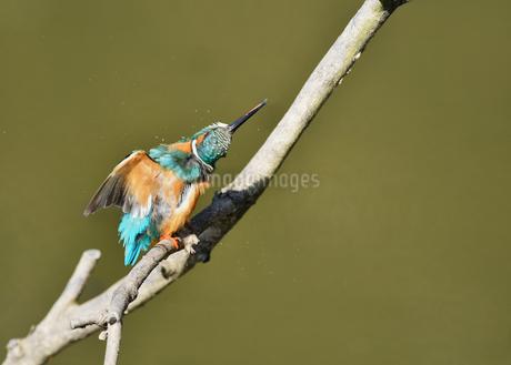 止まり木のカワセミの写真素材 [FYI01263852]