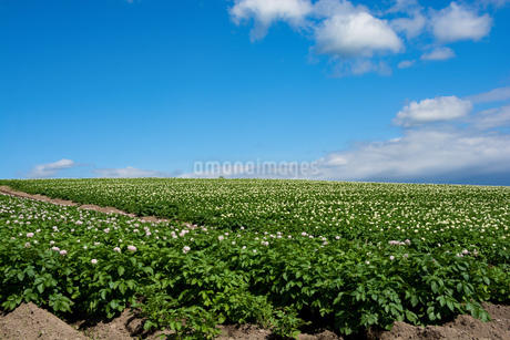 花が咲いたジャガイモ畑と青空の写真素材 [FYI01263914]