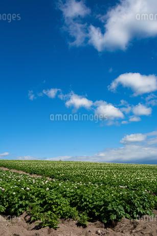 花が咲いたジャガイモ畑と青空の写真素材 [FYI01263915]