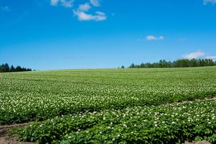花が咲いたジャガイモ畑と青空の写真素材 [FYI01263916]