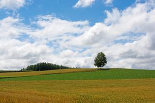 畑の丘の上に立つシラカバ 旭川市の写真素材 [FYI01263917]