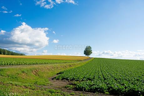 畑の丘の上に立つシラカバ 旭川市の写真素材 [FYI01263918]