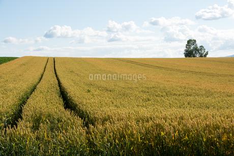 収穫前の麦畑 美瑛町の写真素材 [FYI01263919]