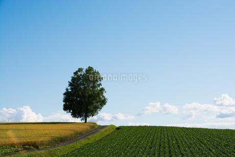 畑の丘の上に立つシラカバ 旭川市の写真素材 [FYI01263920]