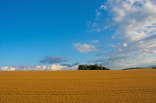 収穫前の麦畑 美瑛町の写真素材 [FYI01263925]