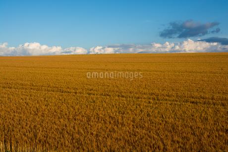 収穫前の麦畑 美瑛町の写真素材 [FYI01263926]