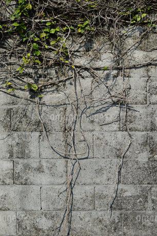 壁を這うツタの写真素材 [FYI01263946]