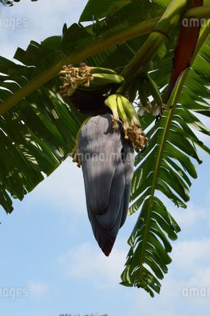 バナナの葉と実の写真素材 [FYI01263948]