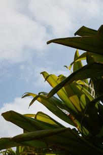 バナナの葉の写真素材 [FYI01263950]