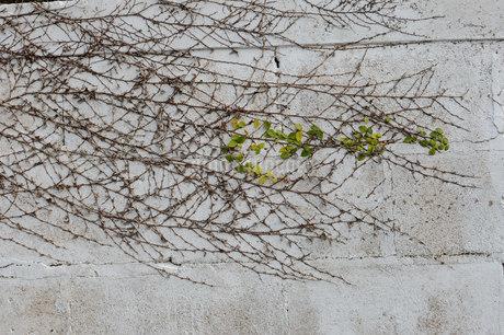 壁を這うツタの写真素材 [FYI01263960]