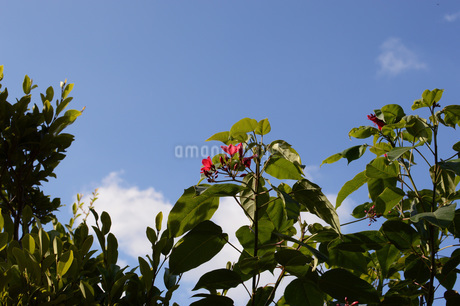 青空に伸びる赤い花の写真素材 [FYI01263978]