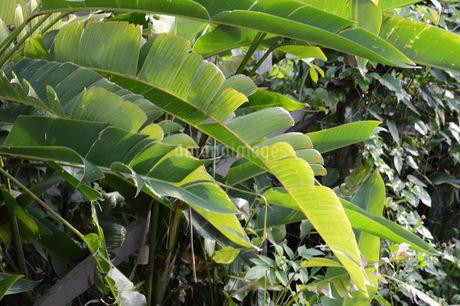 バナナの葉の写真素材 [FYI01263994]