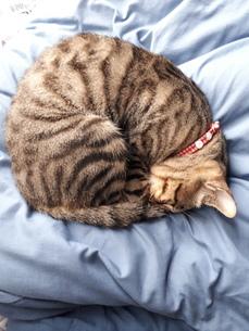アンモニャイト、丸くなって水色の布団の上で眠る猫ちゃんの写真素材 [FYI01264001]