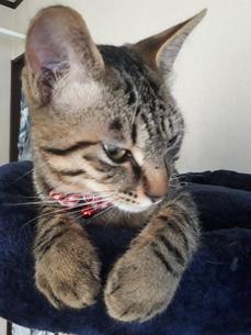眠いけど下が気になり、高いところからお行儀良く一生懸命目を開ける猫ちゃんの写真素材 [FYI01264002]