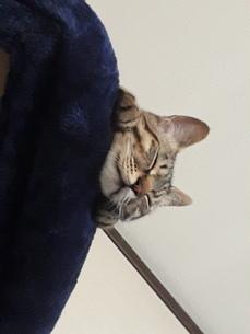 上から下を見ながら寝てしまった猫ちゃんの写真素材 [FYI01264003]