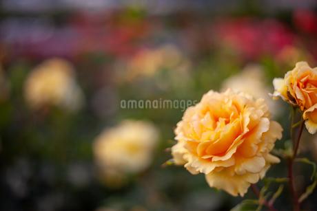 バラの花の写真素材 [FYI01264035]