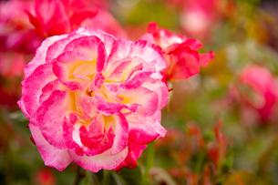 バラの花の写真素材 [FYI01264036]