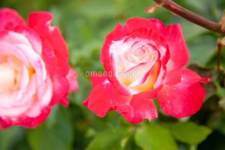 バラの花の写真素材 [FYI01264037]