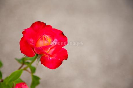 バラの花の写真素材 [FYI01264039]