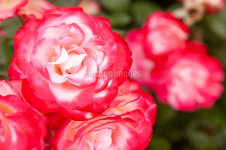 バラの花の写真素材 [FYI01264040]