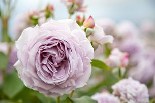 バラの花の写真素材 [FYI01264042]
