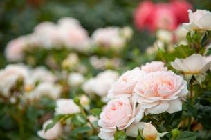 バラの花の写真素材 [FYI01264043]