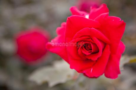 バラの花の写真素材 [FYI01264044]