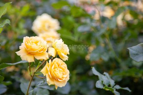 バラの花の写真素材 [FYI01264045]