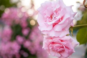 バラの花の写真素材 [FYI01264046]