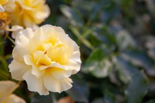 バラの花の写真素材 [FYI01264048]