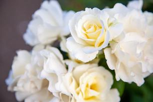 バラの花の写真素材 [FYI01264049]