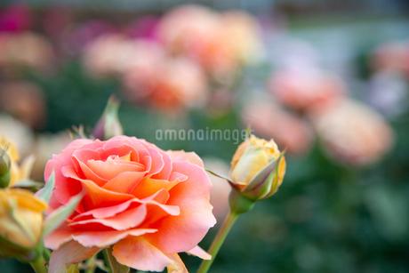 バラの花の写真素材 [FYI01264050]