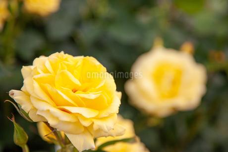 バラの花の写真素材 [FYI01264051]