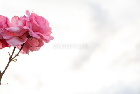 バラの花の写真素材 [FYI01264052]