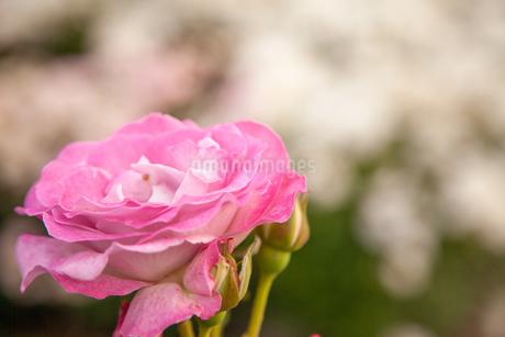 バラの花の写真素材 [FYI01264053]