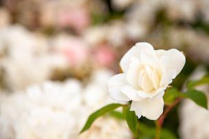 バラの花の写真素材 [FYI01264054]