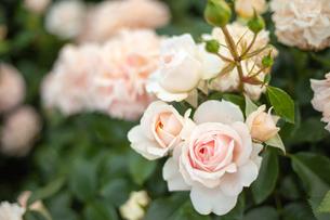 バラの花の写真素材 [FYI01264055]