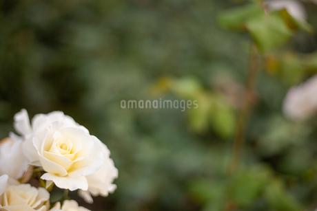 バラの花の写真素材 [FYI01264056]