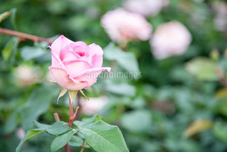 バラの花の写真素材 [FYI01264057]
