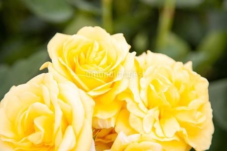 バラの花の写真素材 [FYI01264058]