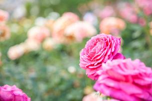 バラの花の写真素材 [FYI01264059]